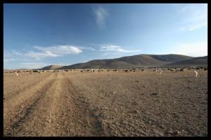 Flock of Animals - Mongolia