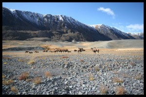 two humped Camels - Mongolia